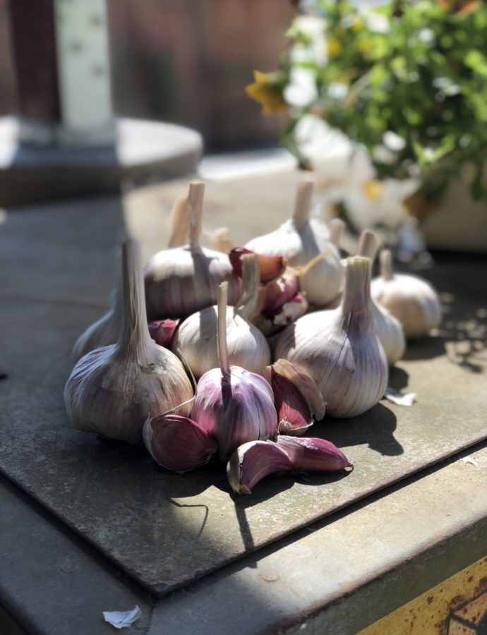 Red Garlic Harvest!